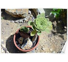 Beautiful round succulent in a flower pot. Poster