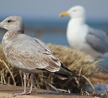 Two Gulls by Gilda Axelrod