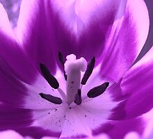 Violet-colored tulip by hummingbirds