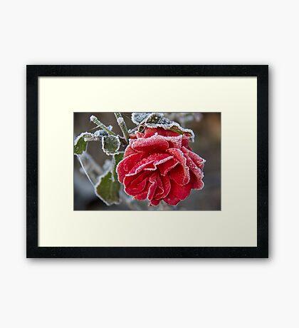 Frosted Red Rose Framed Print