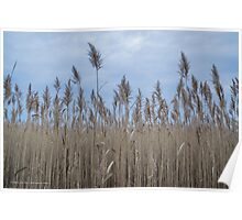 Phragmites - Common Reed | Fire Island, New York Poster