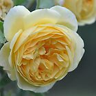 Rosa 'Graham Thomas' by Julie Sherlock