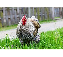 Cochin chicken Photographic Print