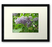Lilac 3 Framed Print