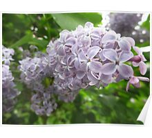 Lilac 2 Poster