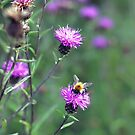 Little Bee on Thistles by Vicki Field