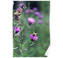 Little Bee on Thistles Poster