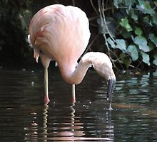 Chilean Flamingo by ScenerybyDesign