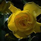 Yellow rose Leith Park Victoria 20161109 7726  by Fred Mitchell