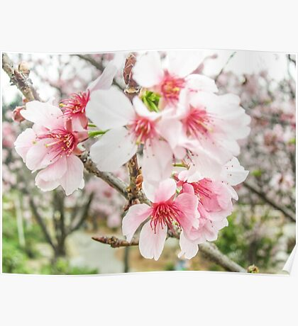 Pretty Pink Cherry Blossoms Poster