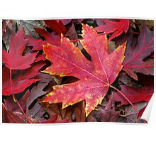 Autumn Maple Leaf on Forest Floor Poster