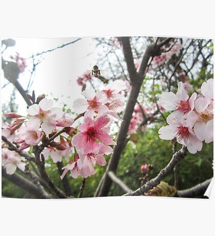 Springtime Cherry Blossoms Poster