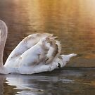 Cygnet at sunset by Lyn Evans