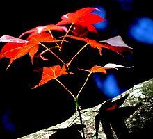 Maple Blast by Gilda Axelrod