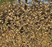 Red-billed Quelea - Thousands of Birds by LivingWild
