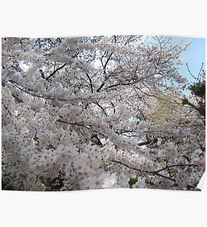 Sakura - 30 Poster