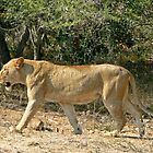 Prowling Lioness by Graeme  Hyde
