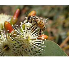 'HARD WORKER!' Bee on Gum Blossom. 'Arilka' Mt. Pleasant, Sth.Aust. Photographic Print