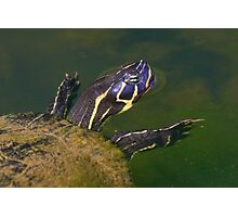 Florida Redbelly Cooter Photographic Print