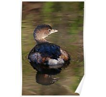 Grebe on Reflective Water Poster