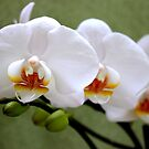 my birthday orchid by Jeannine de Wet
