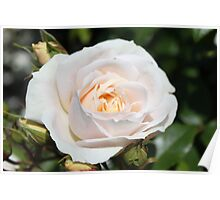 Beautiful white rose flower picture. Floral photo art. Love, friendship and romance. Poster
