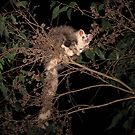 Greater Glider  by Donovan wilson