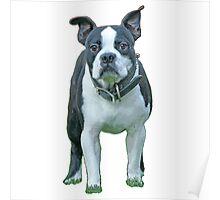 Bosten Terrier 1b Poster
