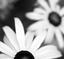 Black and White Daisies Sticker