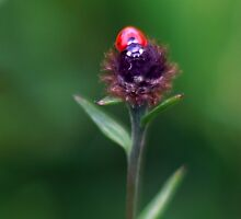 Ladybird Ready For Lift Off by ChameleonImages