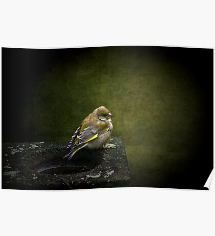 Solitary Finch Poster