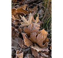 Frosty leaves  Photographic Print