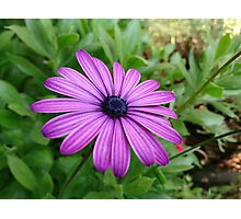 Aster flower Photographic Print