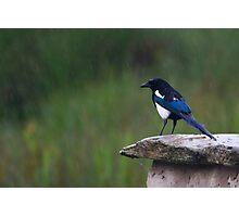 Wet Magpie Photographic Print