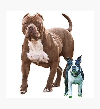 Pit bull Boston terrier Photographic Print