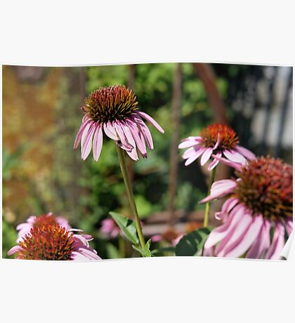 Coneflower Photograph Poster