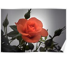 Miniature Red Rose Poster