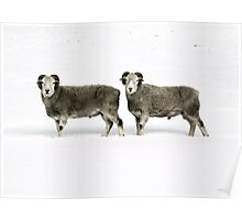 Twin Sheep Poster