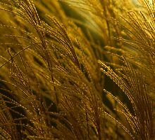 Evening Light Through Pampas Grass by jwoodphoto01