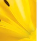 Close-up of yellow flower by Philippe Widling