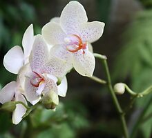 Shy Orchids by Kelley Shannon