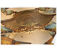 Big Blue Claw Crab, As Is Poster