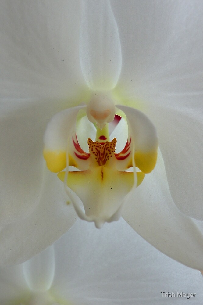 The Beauty of an Orchid by Trish Meyer