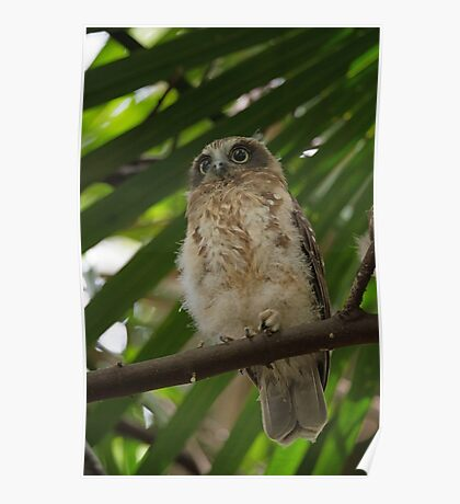 Southern Boobook Owlet Poster
