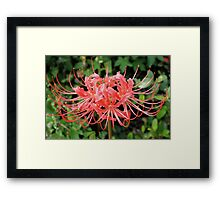 Red Spider Lily Framed Print