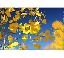 Aspen Leaves Photographic Print