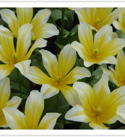 White/Yellow Tulips Sticker