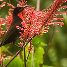 Scarlet Chested Sunbird by Tim Cowley