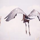 Purple Heron in Flight by Tim Cowley