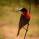 Scarlet Chested Sunbird 2 by Tim Cowley